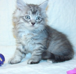 Photo of Klem/Skyya Male 1 DOB  10/18/2014 (SOLD)